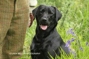 black_labrador_retriever