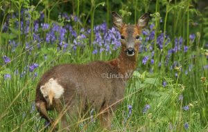 roe doe in the bluebells