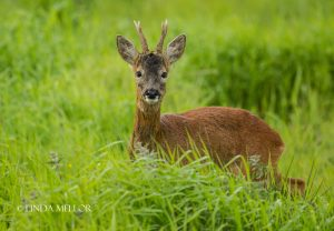 roe_deer_young_buck