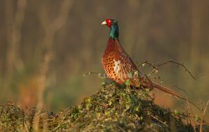 sunshine_pheasant_LOW_RES